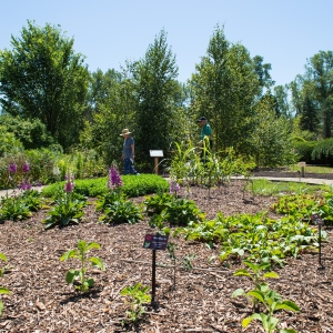 Medicinal Garden, University Of Michigan Matthaei Botanical Gardens; Photo  By Austin Thomason.